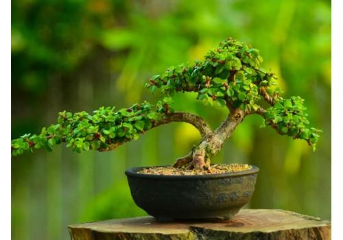 Bonsai ingrijire