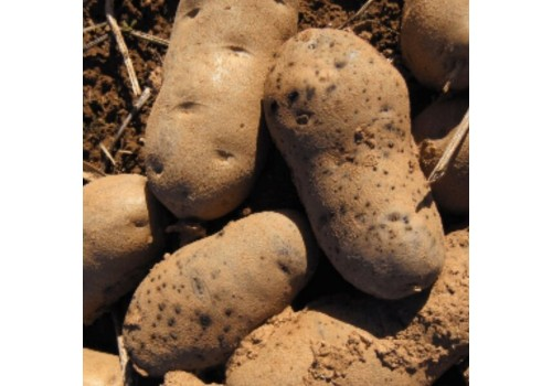 Putregaiul roz al tuberculilor de cartofi