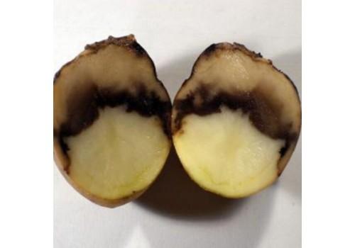 Putregaiul umed al tuberculilor de cartof